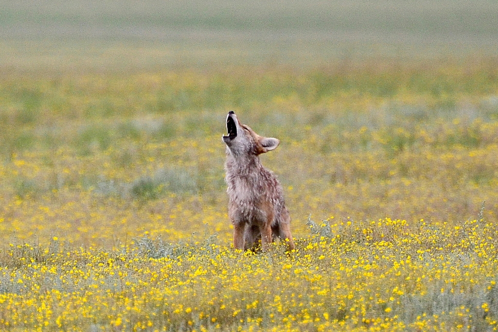 Image by Larry Lamsa introducing the poem titled Howl by H. Hennenburg. Young coyote in field of yellow flowers raising head and howling